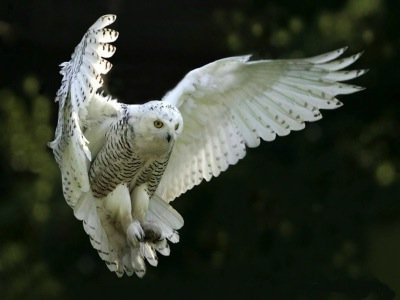 The White Owl with Openhand